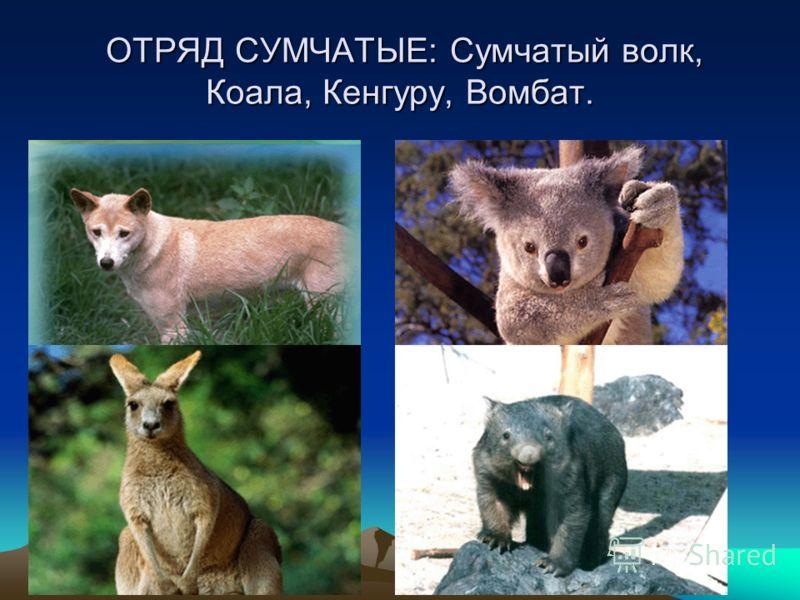 ОТРЯД СУМЧАТЫЕ: Сумчатый волк, Коала, Кенгуру, Вомбат. ОТРЯД СУМЧАТЫЕ: Сумчатый волк, Коала, Кенгуру, Вомбат.