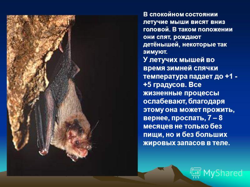В спокойном состоянии летучие мыши висят вниз головой. В таком положении они спят, рождают детёнышей, некоторые так зимуют. У летучих мышей во время зимней спячки температура падает до +1 - +5 градусов. Все жизненные процессы ослабевают, благодаря эт