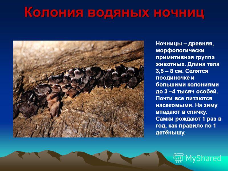 Колония водяных ночниц Ночницы – древняя, морфологически примитивная группа животных. Длина тела 3,5 – 8 см. Селятся поодиночке и большими колониями до 3 –4 тысяч особей. Почти все питаются насекомыми. На зиму впадают в спячку. Самки рождают 1 раз в