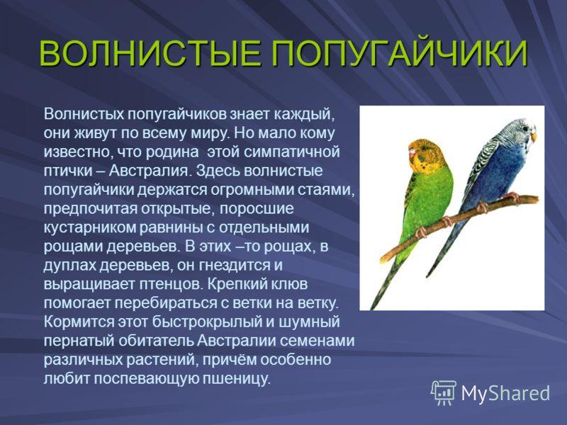 ВОЛНИСТЫЕ ПОПУГАЙЧИКИ Волнистых попугайчиков знает каждый, они живут по всему миру. Но мало кому известно, что родина этой симпатичной птички – Австралия. Здесь волнистые попугайчики держатся огромными стаями, предпочитая открытые, поросшие кустарник