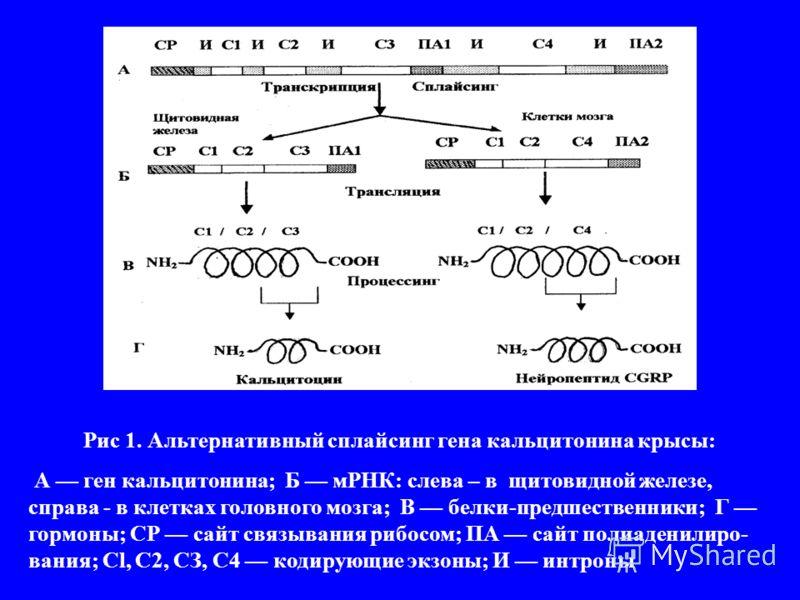 Рис 1. Альтернативный сплайсинг гена кальцитонина крысы: А ген кальцитонина; Б мРНК: слева – в щитовидной железе, справа - в клетках головного мозга; В белки-предшественники; Г гормоны; СР сайт связывания рибосом; ПА сайт полиаденилиро- вания; Cl, C2