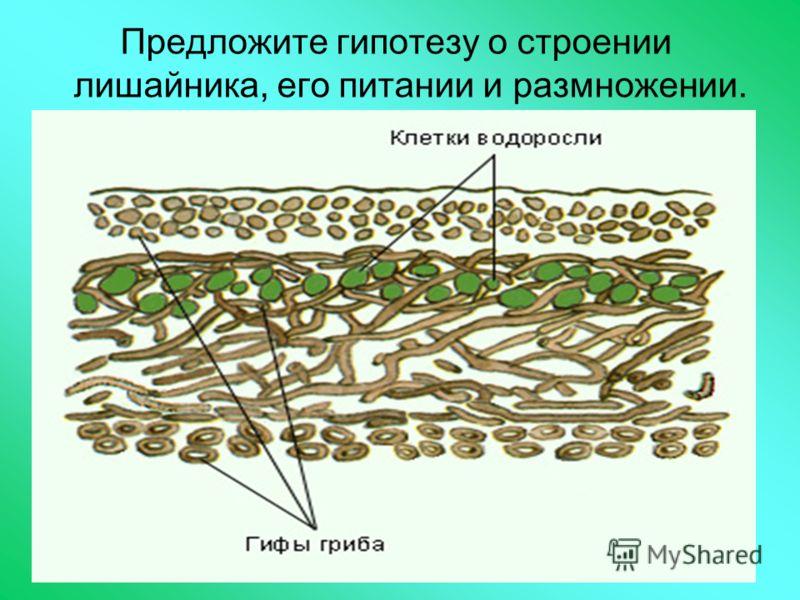 Предложите гипотезу о строении лишайника, его питании и размножении.