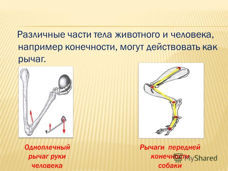 Различные части тела животного и человека, например конечности, могут действовать как рычаг. Рычаги передней конечности собаки Одноплечный рычаг руки человека