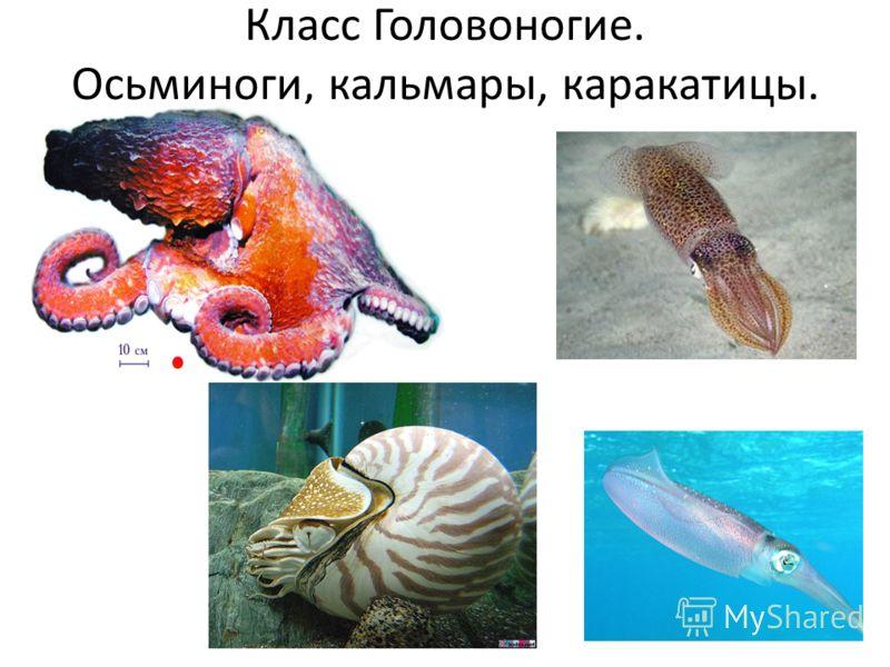 Класс Головоногие. Осьминоги, кальмары, каракатицы.