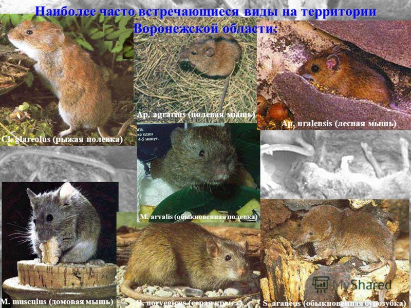 M. musculus (домовая мышь) S. araneus (обыкновенная бурозубка) Cl. glareolus (рыжая полевка) R. norvegicus (серая крыса) M. arvalis (обыкновенная полевка) Ap. agrarius (полевая мышь) Ap. uralensis (лесная мышь) Наиболее часто встречающиеся виды на те