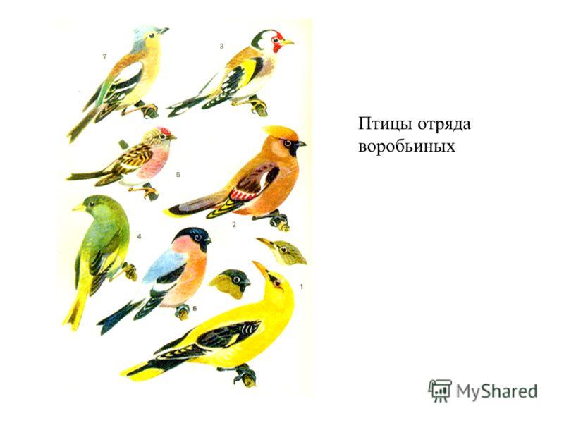 Птицы отряда воробьиных
