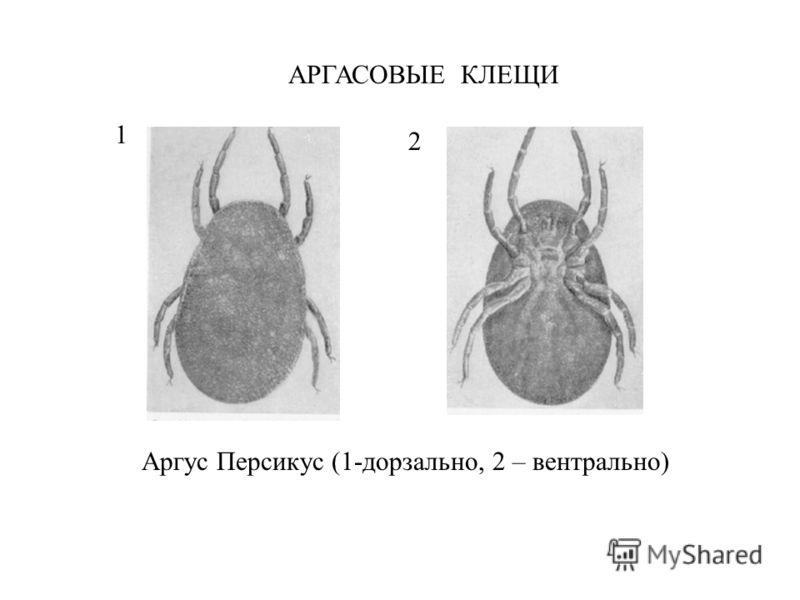 АРГАСОВЫЕ КЛЕЩИ Аргус Персикус (1-дорзально, 2 – вентрально) 1 2