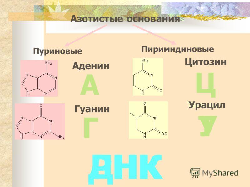 Азотистые основания Пуриновые Пиримидиновые Аденин Гуанин Цитозин ТиминУрацил А Г Ц ТУ ДНКРНК