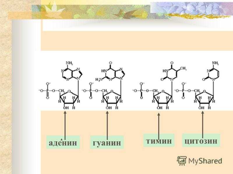 аденингуанин тиминцитозин