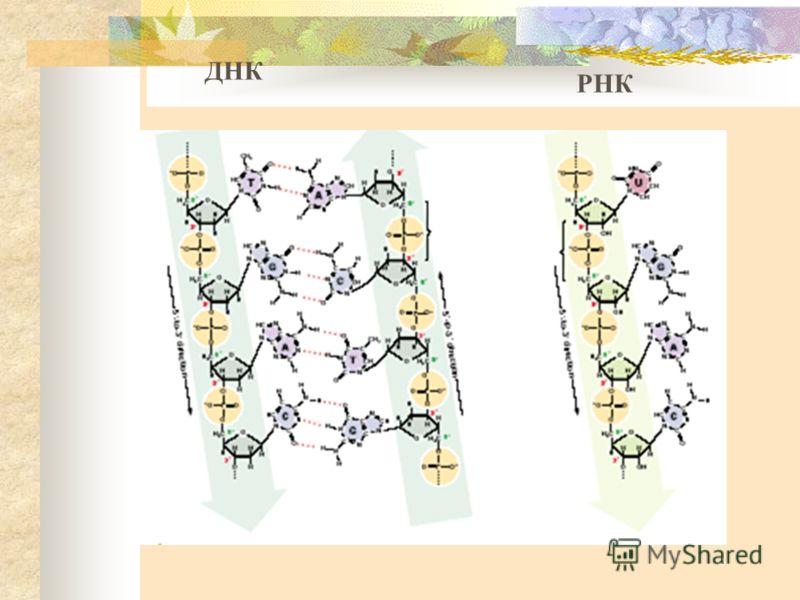 ДНК РНК