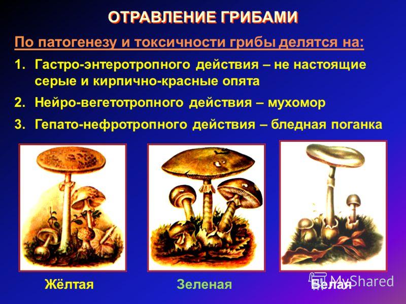 ОТРАВЛЕНИЕ ГРИБАМИ По патогенезу и токсичности грибы делятся на: 1.Гастро-энтеротропного действия – не настоящие серые и кирпично-красные опята 2.Нейро-вегетотропного действия – мухомор 3.Гепато-нефротропного действия – бледная поганка ЖёлтаяЗеленаяБ