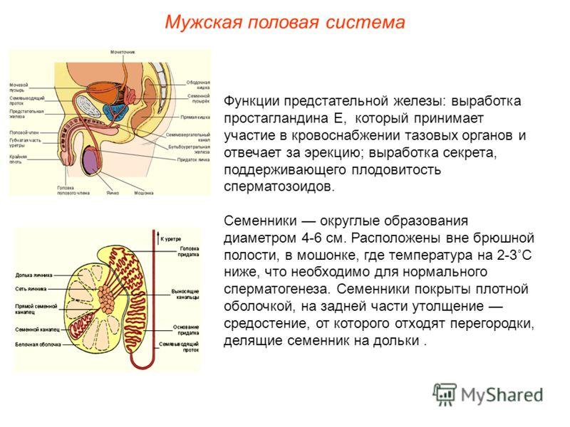 Функции предстательной железы: выработка простагландина Е, который принимает участие в кровоснабжении тазовых органов и отвечает за эрекцию; выработка секрета, поддерживающего плодовитость сперматозоидов. Семенники округлые образования диаметром 4-6