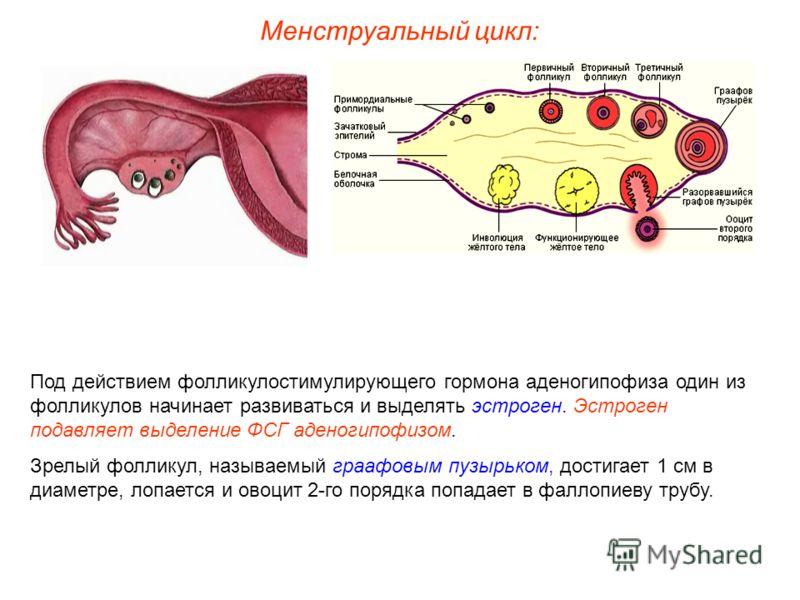 Менструальный цикл: Под действием фолликулостимулирующего гормона аденогипофиза один из фолликулов начинает развиваться и выделять эстроген. Эстроген подавляет выделение ФСГ аденогипофизом. Зрелый фолликул, называемый граафовым пузырьком, достигает 1