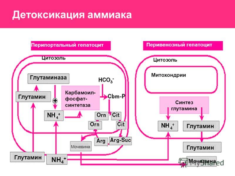Перипортальный гепатоцит Перивенозный гепатоцит Цитозоль Митохондрии Глутаминаза Глутамин NH 4 + Мочевина Карбамоил- фосфат- синтетаза Синтез глутамина Детоксикация аммиака