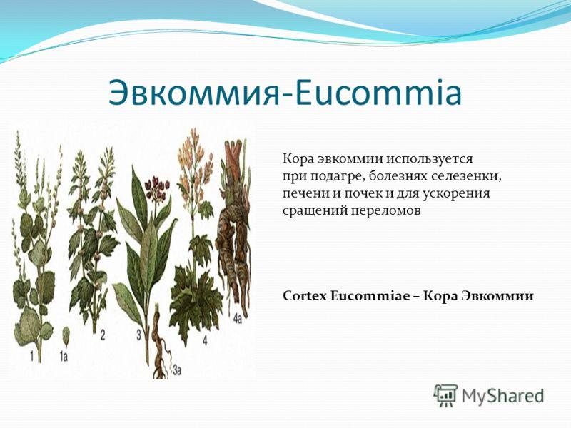 Эвкоммия-Eucommia Кора эвкоммии используется при подагре, болезнях селезенки, печени и почек и для ускорения сращений переломов Cortex Eucommiae – Кора Эвкоммии