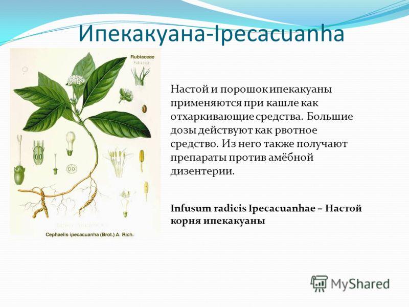 Ипекакуана-Ipecacuanha Настой и порошок ипекакуаны применяются при кашле как отхаркивающие средства. Большие дозы действуют как рвотное средство. Из него также получают препараты против амёбной дизентерии. Infusum radicis Ipecacuanhae – Настой корня