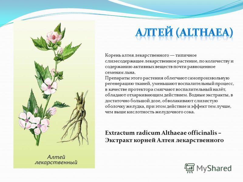 Корень алтея лекарственного типичное слизесодержащее лекарственное растение, по количеству и содержанию активных веществ почти равноценное семенам льна. Препараты этого растения облегчают самопроизвольную регенерацию тканей, уменьшают воспалительный