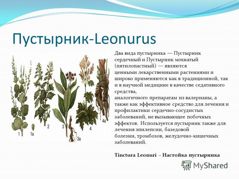 Пустырник-Leonurus Два вида пустырника Пустырник сердечный и Пустырник мохнатый (пятилопастный) являются ценными лекарственными растениями и широко применяются как в традиционной, так и в научной медицине в качестве седативного средства, аналогичного