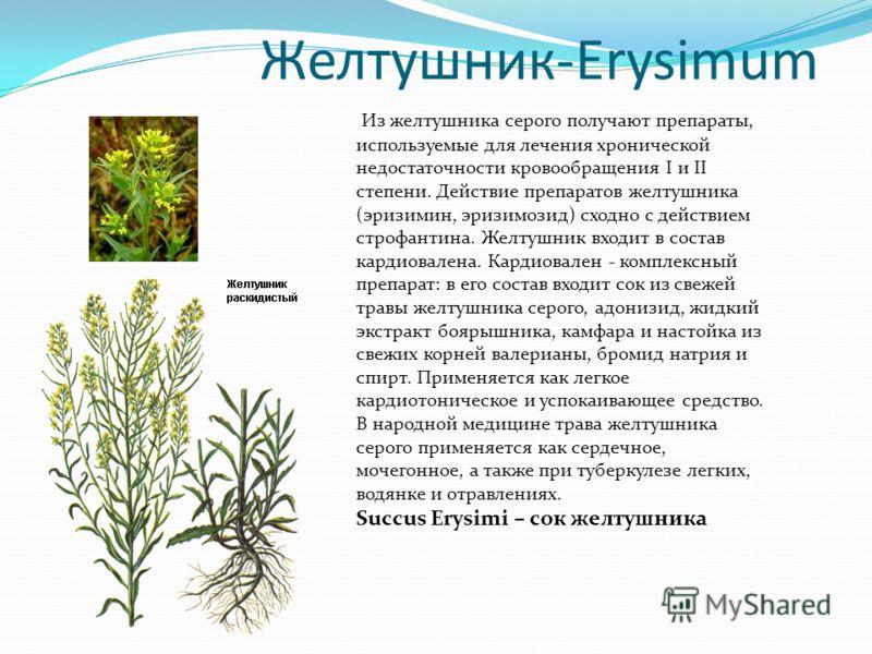 Желтушник-Erysimum Из желтушника серого получают препараты, используемые для лечения хронической недостаточности кровообращения I и II степени. Действие препаратов желтушника (эризимин, эризимозид) сходно с действием строфантина. Желтушник входит в с