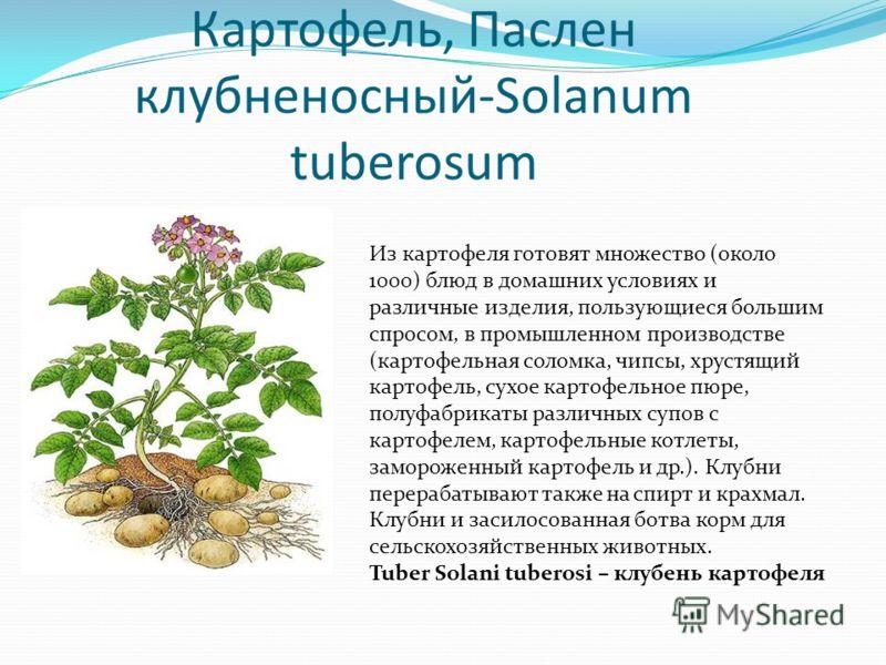 Картофель, Паслен клубненосный-Solanum tuberosum Из картофеля готовят множество (около 1000) блюд в домашних условиях и различные изделия, пользующиеся большим спросом, в промышленном производстве (картофельная соломка, чипсы, хрустящий картофель, су