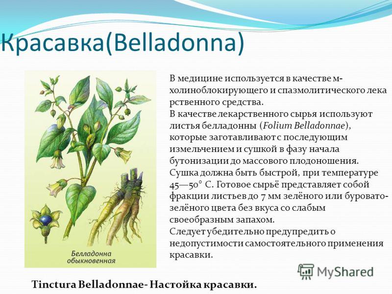 Красавка(Belladonna) В медицине используется в качестве м- холиноблокирующего и спазмолитического лека рственного средства. В качестве лекарственного сырья используют листья белладонны (Folium Belladonnae), которые заготавливают с последующим измельч