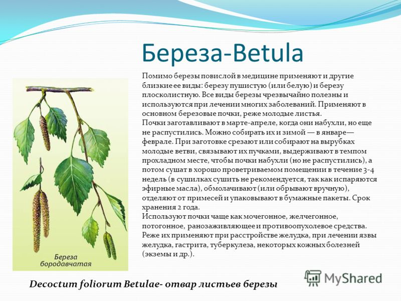 Береза-Betula Помимо березы повислой в медицине применяют и другие близкие ее виды: березу пушистую (или белую) и березу плосколистную. Все виды березы чрезвычайно полезны и используются при лечении многих заболеваний. Применяют в основном березовые