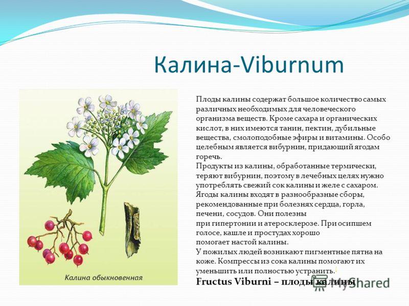 Калина-Viburnum Плоды калины содержат большое количество самых различных необходимых для человеческого организма веществ. Кроме сахара и органических кислот, в них имеются танин, пектин, дубильные вещества, смолоподобные эфиры и витамины. Особо целеб