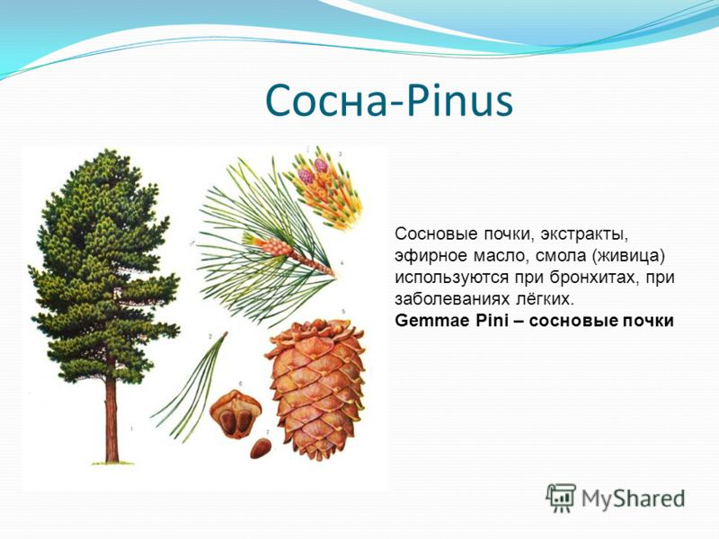 Сосна-Pinus Сосновые почки, экстракты, эфирное масло, смола (живица) используются при бронхитах, при заболеваниях лёгких. Gemmae Pini – сосновые почки