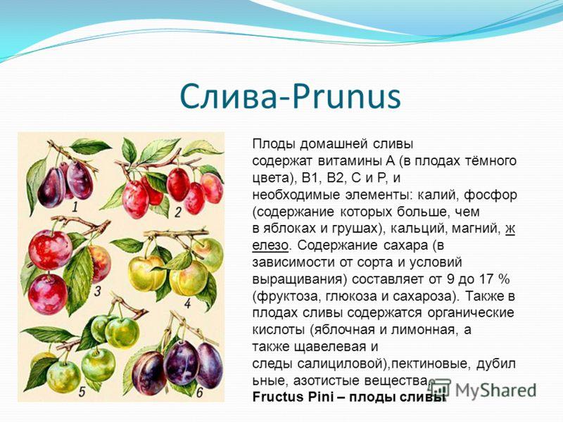 Слива-Prunus Плоды домашней сливы содержат витамины A (в плодах тёмного цвета), B1, B2, C и P, и необходимые элементы: калий, фосфор (содержание которых больше, чем в яблоках и грушах), кальций, магний, ж елезо. Содержание сахара (в зависимости от со