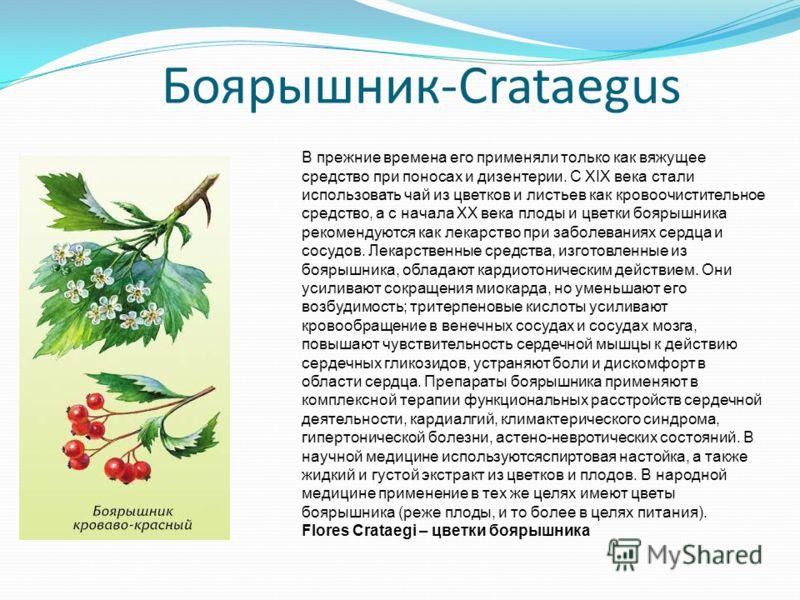 Боярышник-Crataegus В прежние времена его применяли только как вяжущее средство при поносах и дизентерии. С XIX века стали использовать чай из цветков и листьев как кровоочистительное средство, а с начала XX века плоды и цветки боярышника рекомендуют