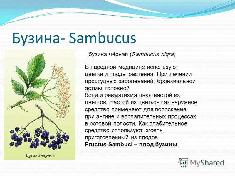 Бузина- Sambucus В народной медицине используют цветки и плоды растения. При лечении простудных заболеваний, бронхиальной астмы, головной боли и ревматизма пьют настой из цветков. Настой из цветков как наружное средство применяют для полоскания при а