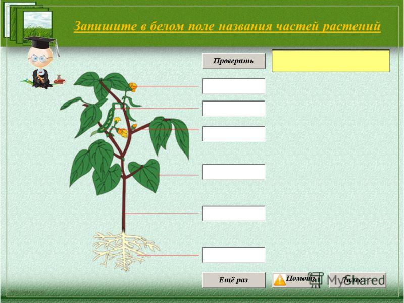 Запишите в белом поле названия частей растений