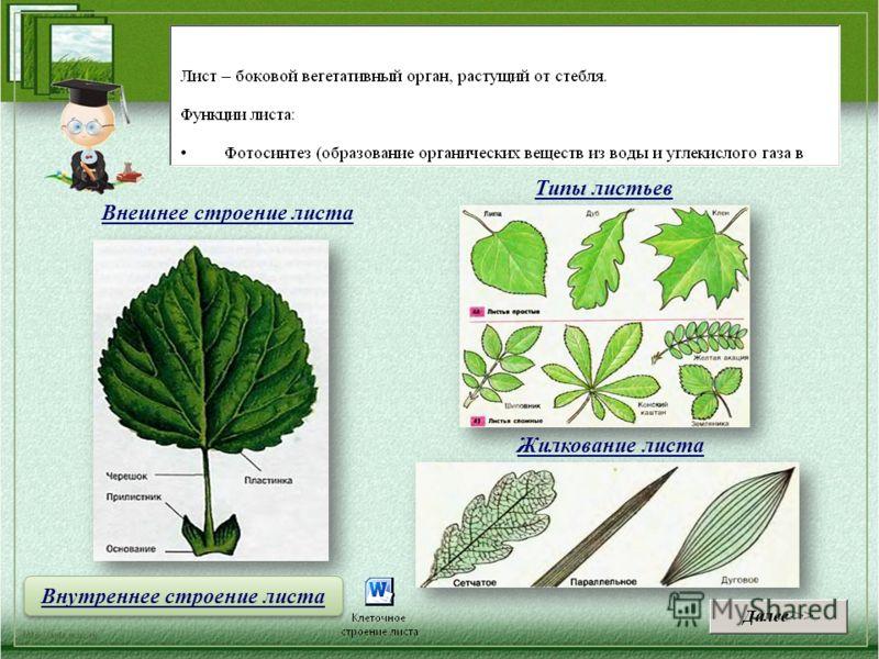 Внешнее строение листа Жилкование листа Типы листьев Внутреннее строение листа