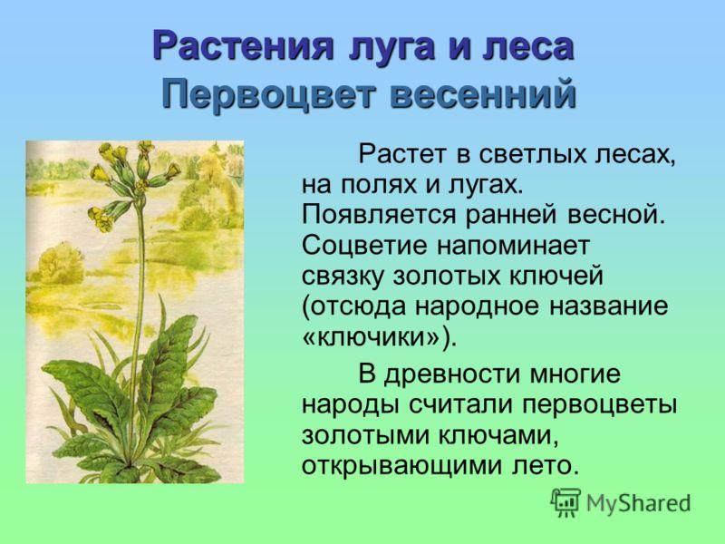 Растения луга и леса Первоцвет весенний Растет в светлых лесах, на полях и лугах. Появляется ранней весной. Соцветие напоминает связку золотых ключей (отсюда народное название «ключики»). В древности многие народы считали первоцветы золотыми ключами,
