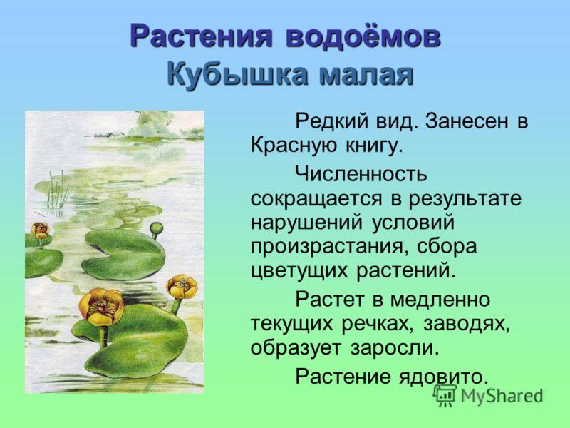 Растения водоёмов Кубышка малая Редкий вид. Занесен в Красную книгу. Численность сокращается в результате нарушений условий произрастания, сбора цветущих растений. Растет в медленно текущих речках, заводях, образует заросли. Растение ядовито.