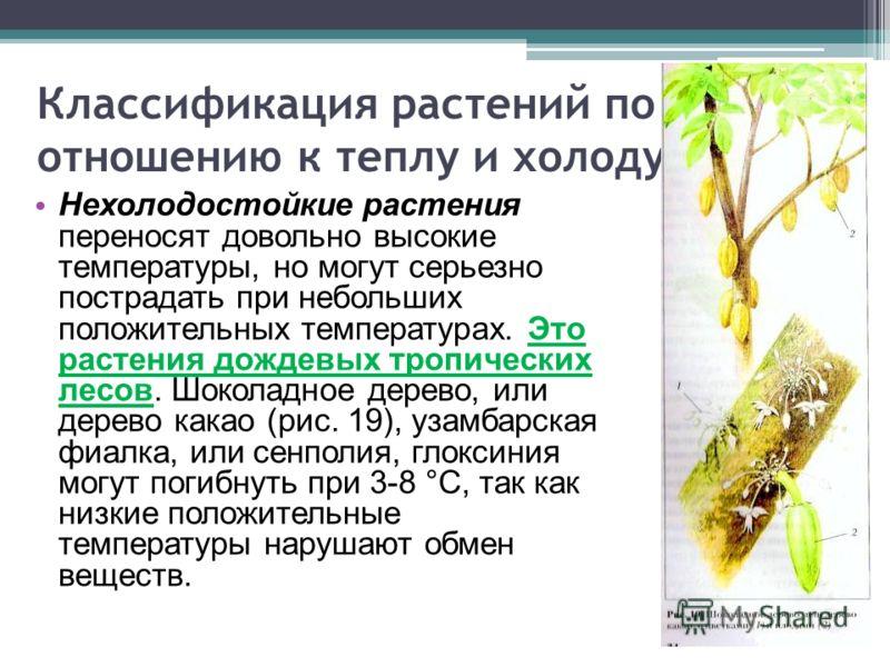 Классификация растений по отношению к теплу и холоду Нехолодостойкие растения переносят довольно высокие температуры, но могут серьезно пострадать при небольших положительных температурах. Это растения дождевых тропических лесов. Шоколадное дерево, и