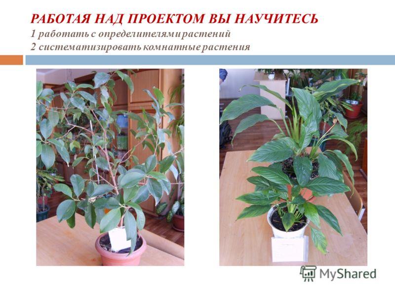 РАБОТАЯ НАД ПРОЕКТОМ ВЫ НАУЧИТЕСЬ 1 работать с определителями растений 2 систематизировать комнатные растения