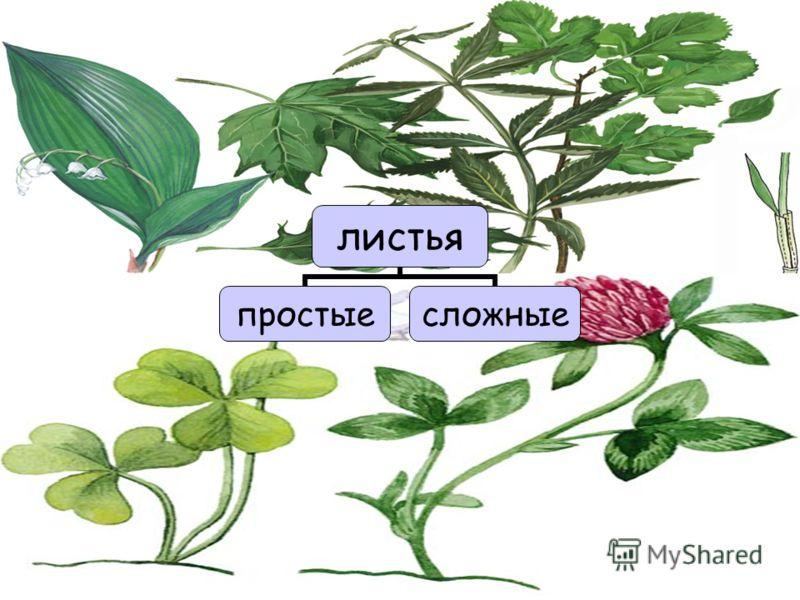 листья простыесложные