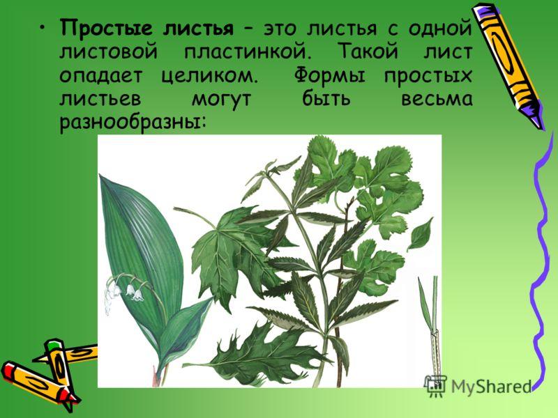 Простые листья – это листья с одной листовой пластинкой. Такой лист опадает целиком. Формы простых листьев могут быть весьма разнообразны: