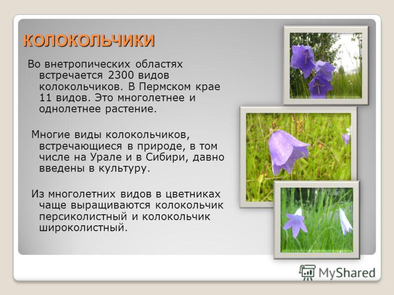КОЛОКОЛЬЧИКИ Во внетропических областях встречается 2300 видов колокольчиков. В Пермском крае 11 видов. Это многолетнее и однолетнее растение. Многие виды колокольчиков, встречающиеся в природе, в том числе на Урале и в Сибири, давно введены в культу