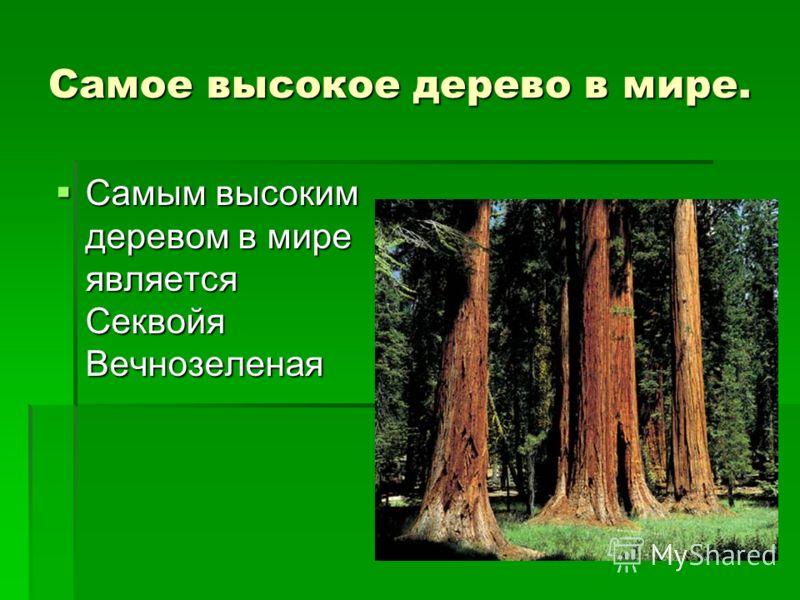 Самое высокое дерево в мире. Самым высоким деревом в мире является Секвойя Вечнозеленая Самым высоким деревом в мире является Секвойя Вечнозеленая