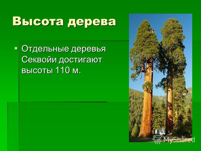 Высота дерева Отдельные деревья Секвойи достигают высоты 110 м. Отдельные деревья Секвойи достигают высоты 110 м.