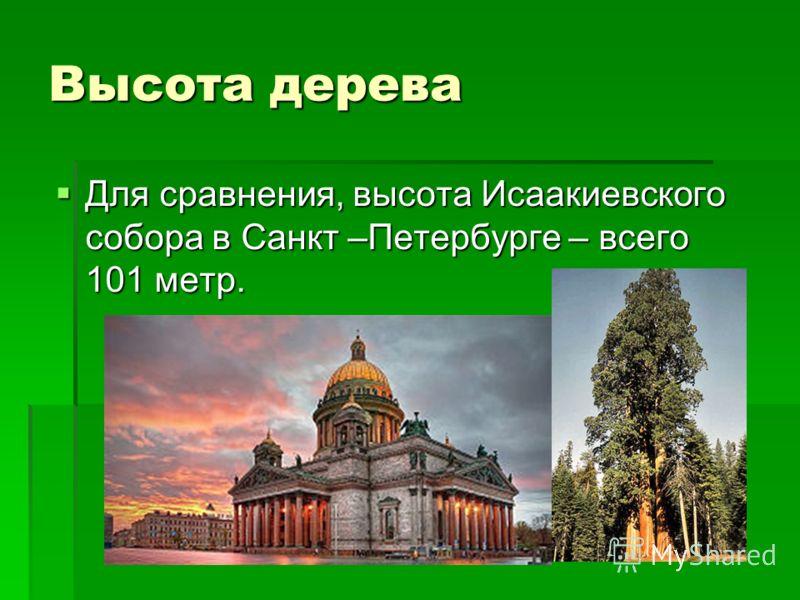 Высота дерева Для сравнения, высота Исаакиевского собора в Санкт –Петербурге – всего 101 метр. Для сравнения, высота Исаакиевского собора в Санкт –Петербурге – всего 101 метр.