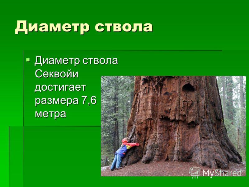 Диаметр ствола Диаметр ствола Секвойи достигает размера 7,6 метра Диаметр ствола Секвойи достигает размера 7,6 метра
