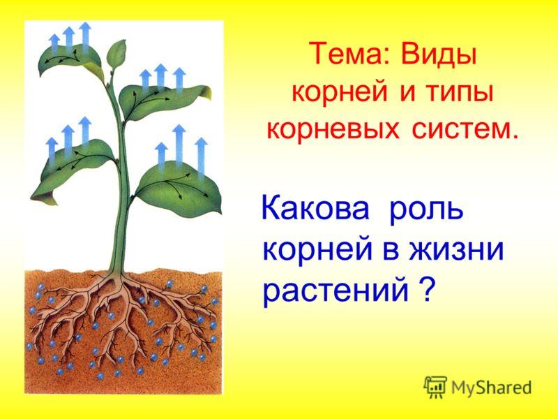 Тема: Виды корней и типы корневых систем. Какова роль корней в жизни растений ?