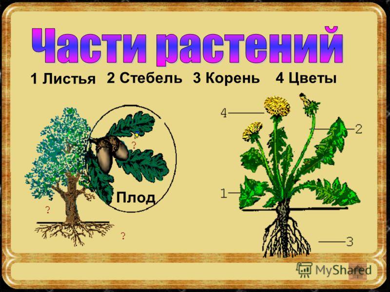 1 Листья 2 Стебель3 Корень4 Цветы Плод