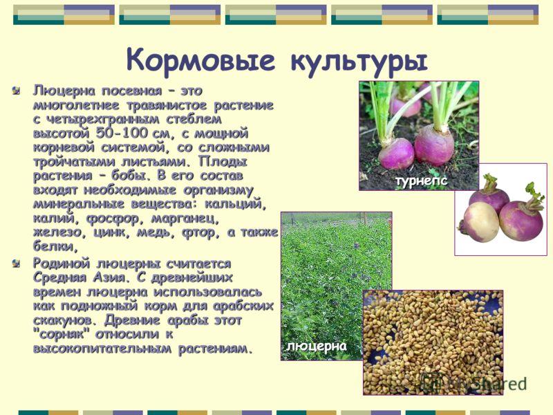 Кормовые культуры Люцерна посевная – это многолетнее травянистое растение с четырехгранным стеблем высотой 50-100 см, с мощной корневой системой, со сложными тройчатыми листьями. Плоды растения – бобы. В его состав входят необходимые организму минера