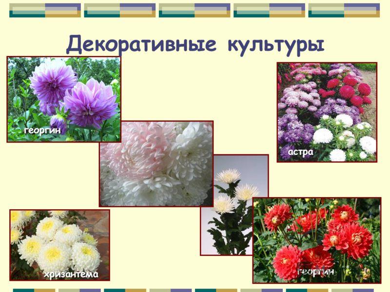 Декоративные культуры астра георгин георгин хризантема