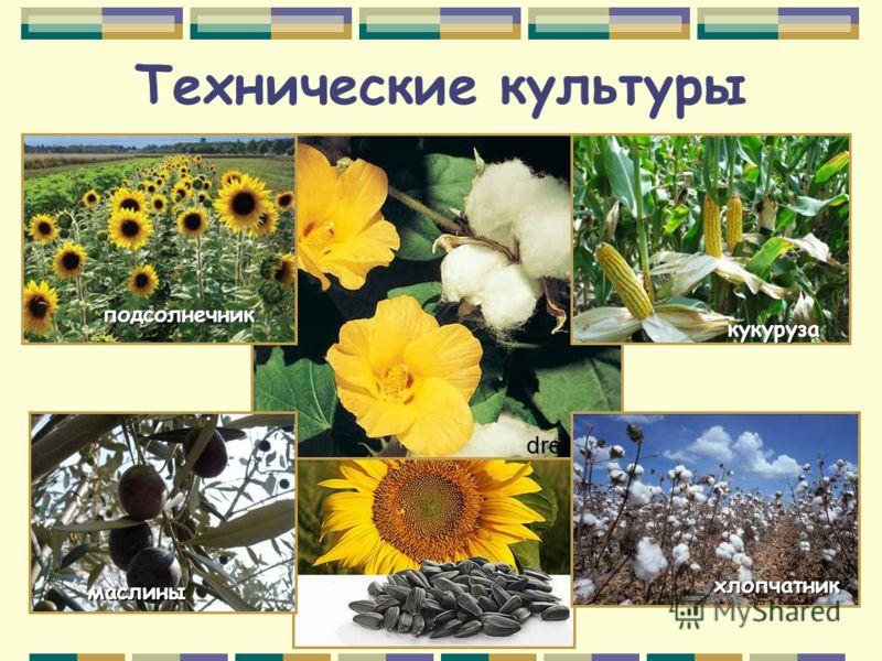 Технические культуры кукуруза подсолнечник хлопчатник маслины