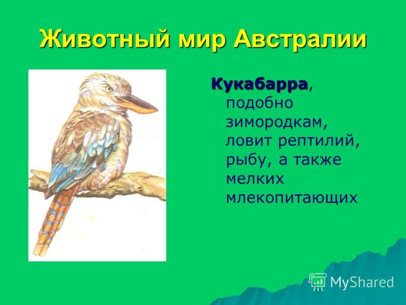 Животный мир Австралии Кукабарра Кукабарра, подобно зимородкам, ловит рептилий, рыбу, а также мелких млекопитающих